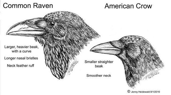 Animal Identification Is This A Raven Or A Crow Quora