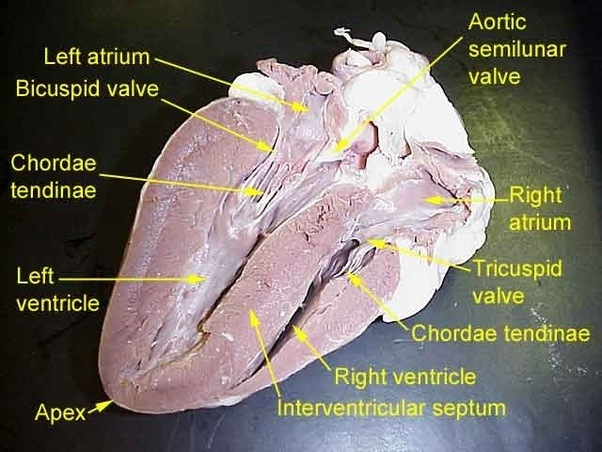 What Are The Differences Between The Ventricle And Atrium Of A Heart