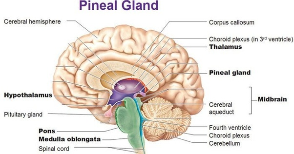 how many types of gland
