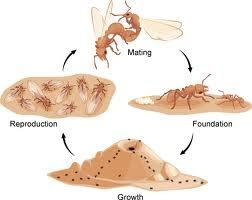 How do ants lay eggs? - Quora Queen Ant Laying Eggs