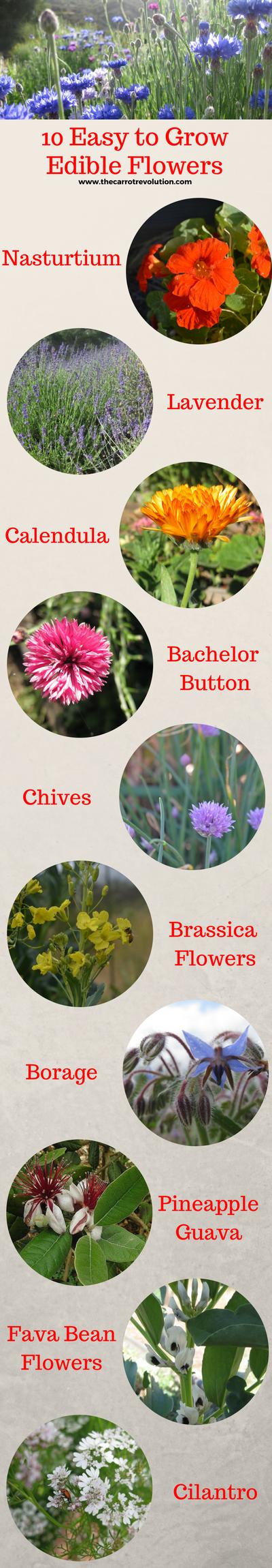 Which flowers are edible quora 10 cilantro coriandrum sativum mightylinksfo