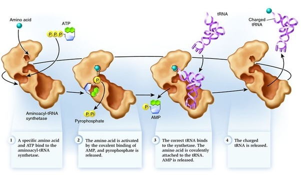 Whats The Process Of Synthesizing A Protein From Instructions In