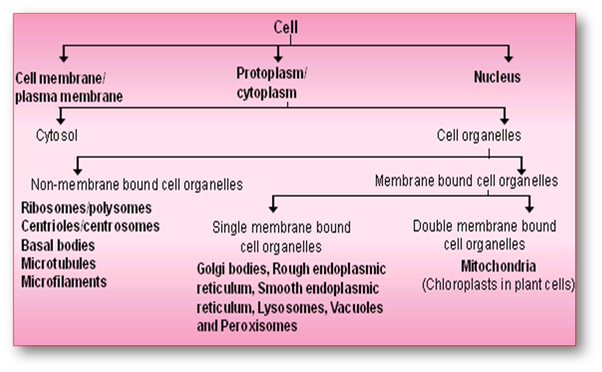 Which organelles are present in a plant cell but not in an animal.