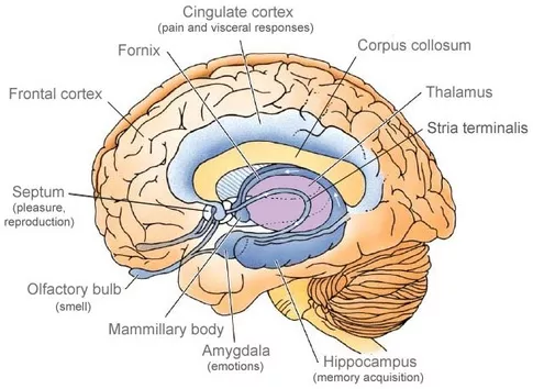 Human Brain Diagram Not Labeled - Wiring Diagram •