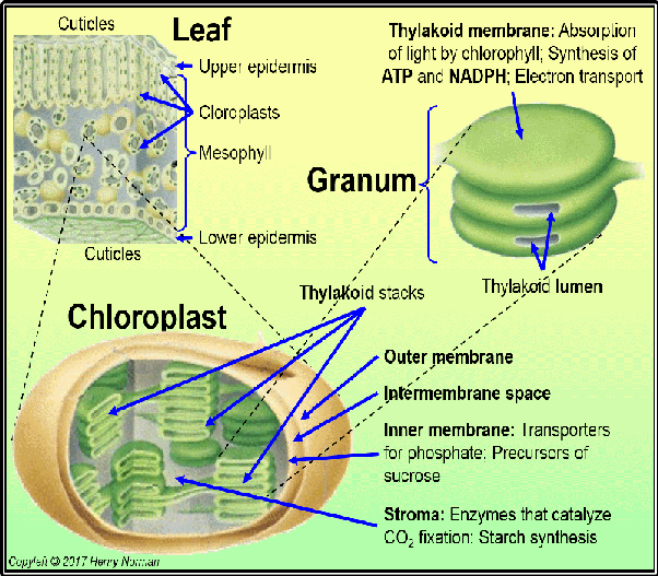 Where are chloroplasts mostly found quora image adapted from original found at u18439936inehome server leaf chloroplast granum with functions ccuart Choice Image