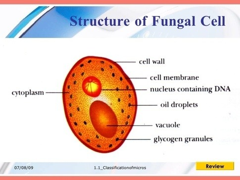 What is the anatomy of fungi cells Quora