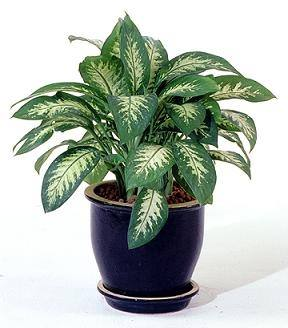 What are some examples of hardy plants that can live well in office spaces quora - Hardy office plants ...