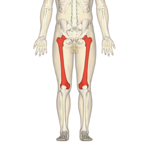 What Is The Longest Bone In The Body Quora