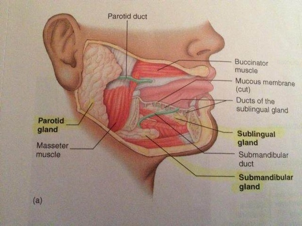 under chin diagram wiring diagram chin anatomy what is the function of the gland under your chin? quorait makes saliva along with
