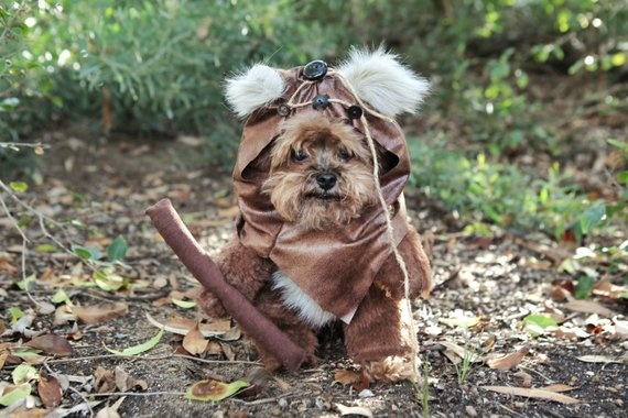 Which Breeds Of Dog Look Like The Ewoks From Star Wars Quora