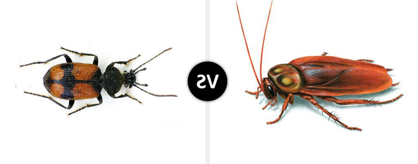 Entomology: What is the difference between a cockroach and a
