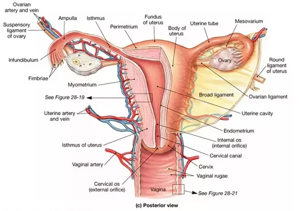 What Is The Difference Between Pregnancy Cramping And Period