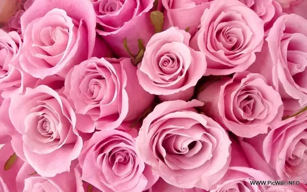 What is the difference between the colors pink and rose quora what is the difference between the colors pink and rose ccuart Gallery