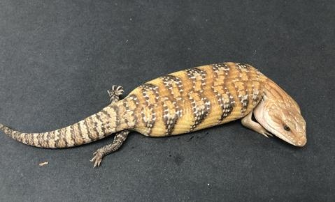 Which Pet Lizard Do You Prefer Between An Argentine Tegu And A Blue