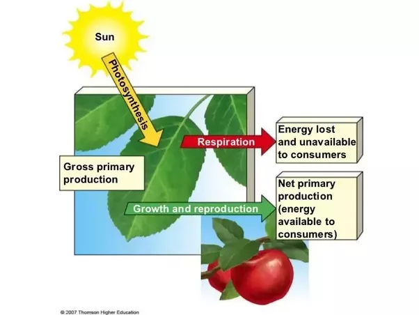 explain how photosynthesis and respiration are linked in order to provide you with energy from the f Convergent acclimation of leaf photosynthesis and respiration to prevailing ambient temperatures under current and warmer climates in eucalyptus tereticornis.