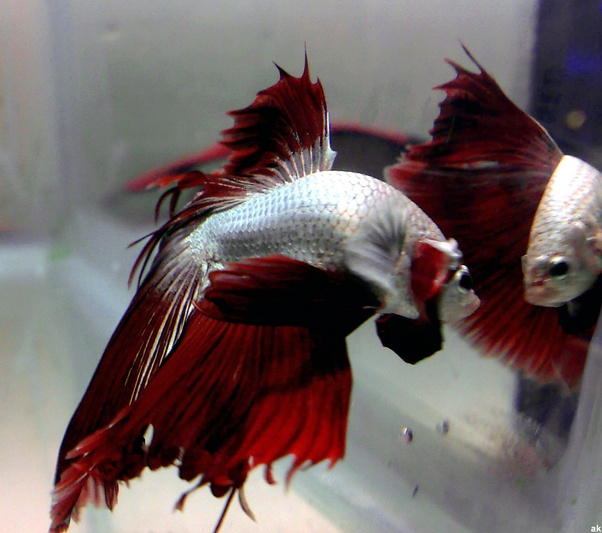 Why is my betta fish flaring his gills quora for Why fish is bad for you