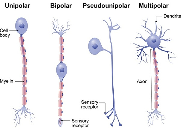 Are sensory neurons multipolar? - Quora