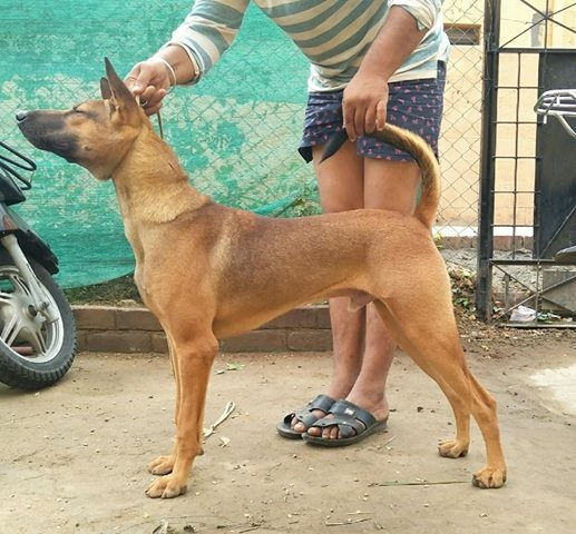 What are the 10 dog breeds of Tamil Nadu, India? - Quora