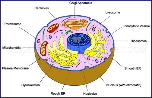 What Cells Have A Nucleus And Nuclear Membrane Quora