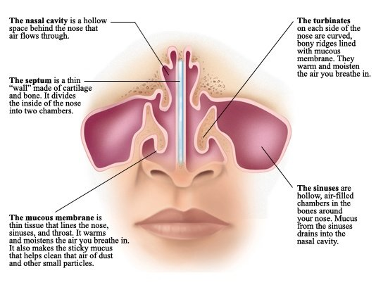 What are the main parts of the human nose and their functions? - Quora