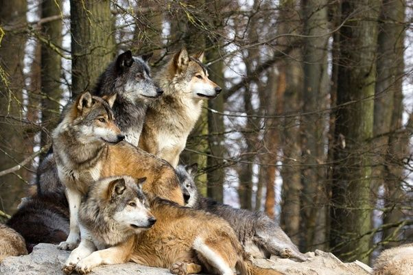 They Are Apex In The Food Chain , Hence They Donu0027t Have Any Natural  Predators.