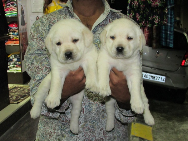 Where can I to get a labrador puppy in bangalore? - Quora