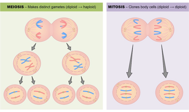 What is the major difference between mitosis and meosis cell since the purpose of mitosis is growth and repair the process only involves replication of dna and the splitting of the cell producing two identical ccuart Choice Image