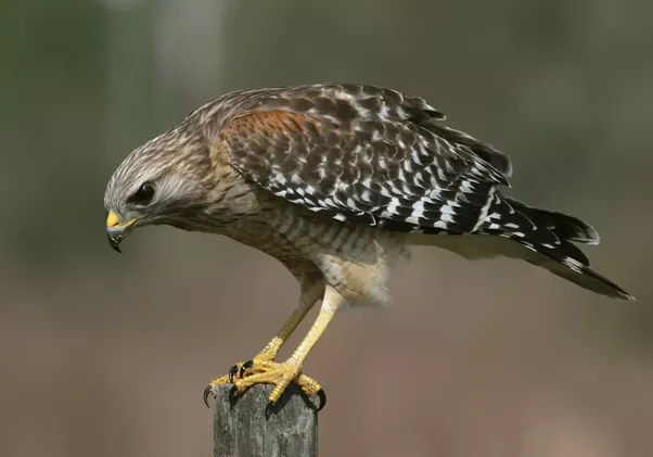 what are the differences between an eagle and a hawk quora