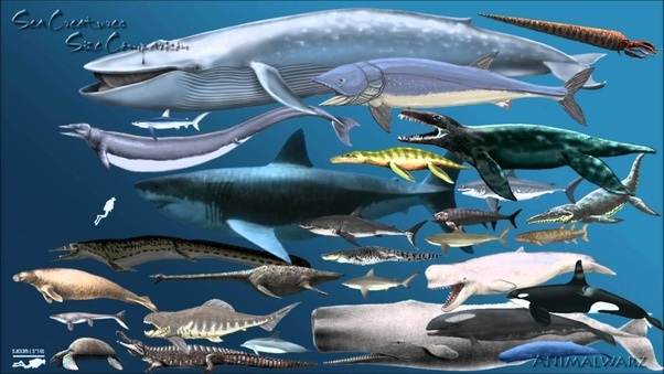 Would a great white shark eat a blue whale? - Quora