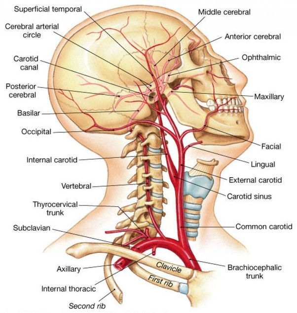 Where is the artery in the neck? - Quora