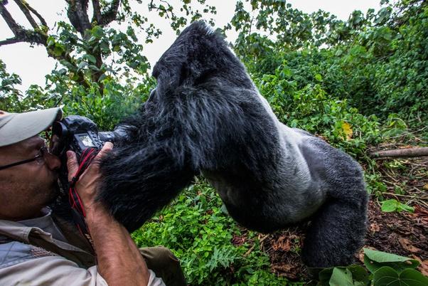 do gorillas attack people quora