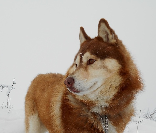 How much does a Siberian Husky cost in India? - Quora