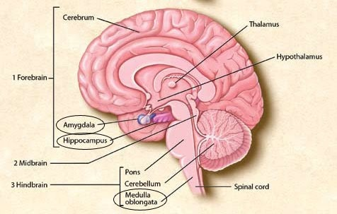 how can the amygdala be part of the cerebellum and the brain stem