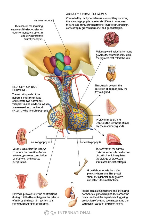 Why Are Hormones Released Into Venous Blood And Not Into Arterial