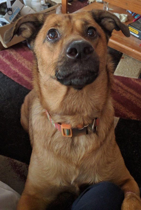 What does a yellow Lab mixed with German Shepherd look ...