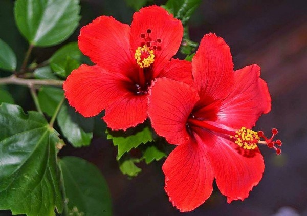 What Are The Uses For The Different Parts Of A Hibiscus Flower Quora