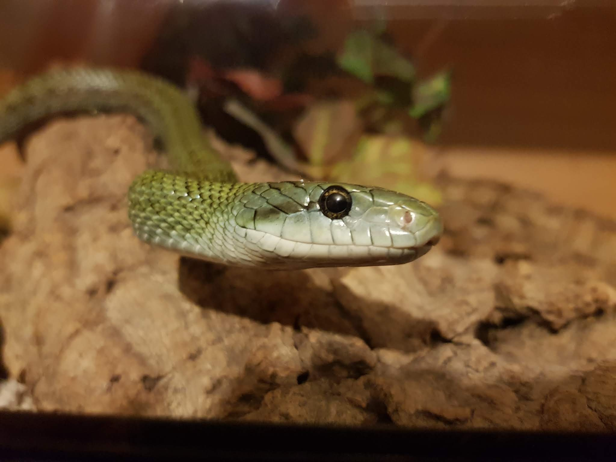 Should I get a green tree python for my daughter? - Quora