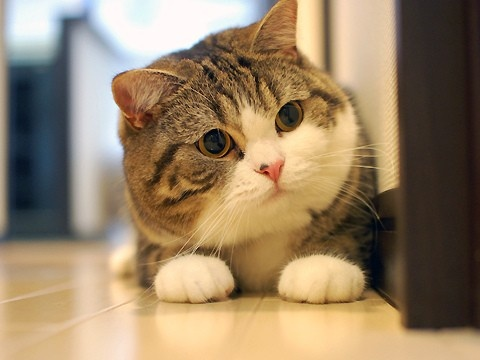 What Is The Breed Of Cat With Really Big Head And Fat Cheeks Quora