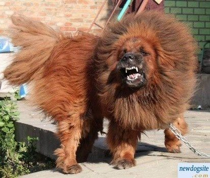 Who would win in a fight between a Caucasian shepherd and ...