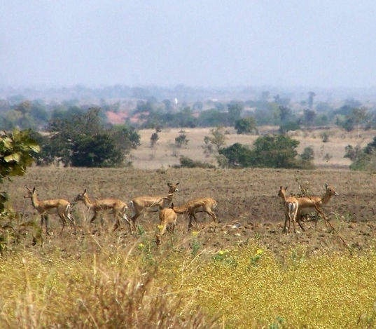 Can India bring cheetahs back to its forests? - Quora