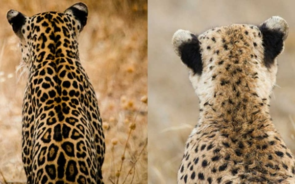 What makes a cheetah different from a leopard? - Quora