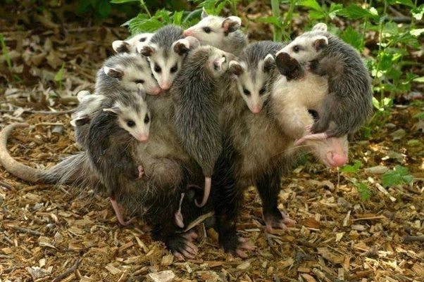 Sure, they might defend themselves in certain circumstances, like if they  have young nearby, but who wouldn't? However, in general, they are rarely a  danger ... - Do I Need To Get Rid Of Opossums From My Backyard? - Quora