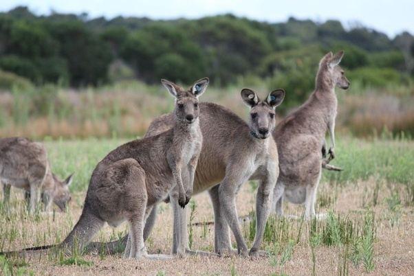 what are the australian savanna animals