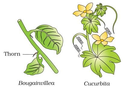 What Are The Homologous Organs In Plant Quora