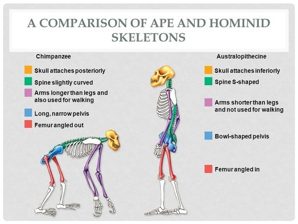 What is the reason that apes cannot permanently walk on ...