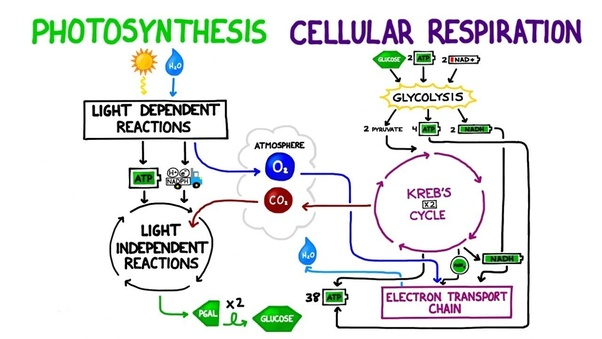 Relating photosynthesis and cell respiration diagram wiring relating photosynthesis and cell respiration diagram images gallery ccuart Image collections