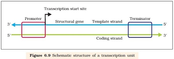 Here You See The Template Strand This Is To Which Rna Primer Will Attach Itself Polymerases Help In Elongation Of