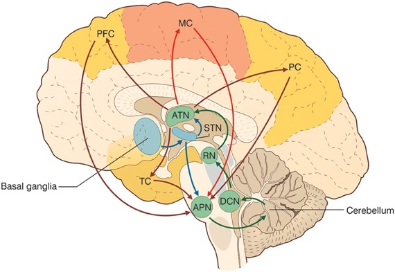 How is the prefrontal cortex connected to the cerebellum quora image from seeking a unified framework for cerebellar function and dysfunction from circuit operations to cognition ccuart Choice Image
