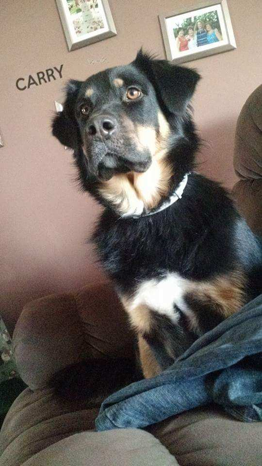 What Does A Rottweiler And Border Collie Mix Look Like