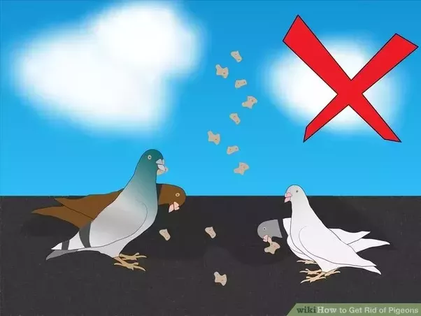 Avoid Feeding Pigeons Under Any Circumstances. Do Not Make Your Home Or  Area A Place Where Pigeons Get Fed. Never Feed Them, Or Allow Bird Feeders  To Remain ...